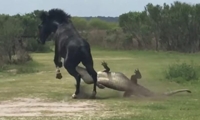 Un cheval sauvage attaque un alligator en Floride