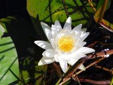 Nénuphar au parc Grassy Waters Preserve (Everglades, à West Palm Beach)