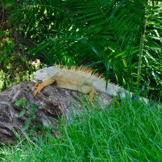 Iguane au Zoo de Palm Beach en Floride