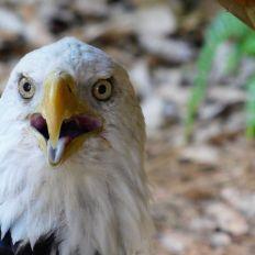 """Aigle américain (""""à tête blanche"""") au Zoo de Palm Beach en Floride"""