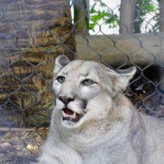Panthère de Floride au Zoo de Palm Beach.