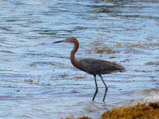 Oiseau sur la Plage de Smathers Beach à Key West.