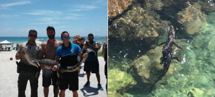 Alligator capturé à Miami Beach