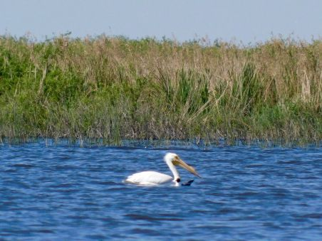 Pélican blanc sur le Lake Okeechobee à Moore Haven en Floride