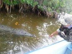 Crocodile dans le lagon de Rio Lagartos dans le Yucatan.