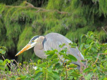 Héron bleu aux Wakodahatchee Wetlands à Delray Beach
