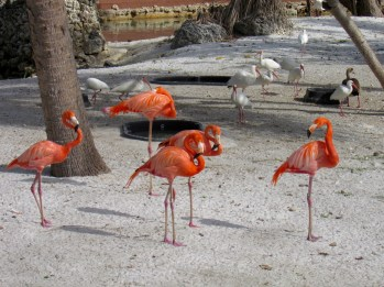 Flamants roses au Miami Seaquarium