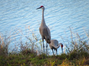 Grues de Floride au parc Okeeheelee Park de West Palm Beach
