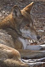 Un loup rouge à St Vincent