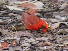 Un oiseau cardinal dans la mangrove de la plage de Delnor Wiggins à Naples en Floride.