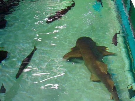 Requin au Clearwater Marine Aquarium