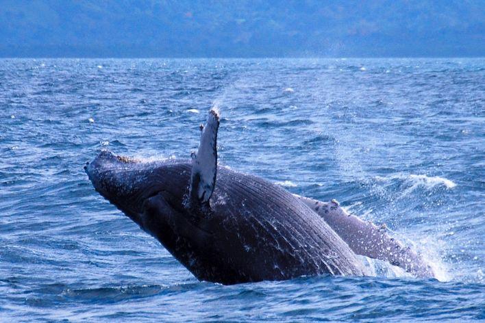 Baleines à bosses dans la baie de Samaná en République Dominicaine.