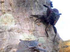 Crabes à Weedon Island et ses magnifiques tunnels de mangrove à St Petersburg en Floride