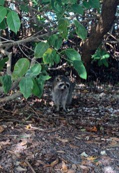 Raton laveur à Weedon Island et ses magnifiques tunnels de mangrove à St Petersburg en Floride