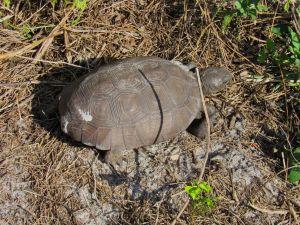 Tortue au Winding Waters Park de West Palm Beach