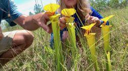 Plantes carnivores dans la forêt d'Apalachicola