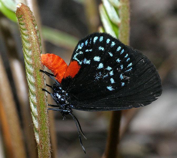 Papillon Atala.
