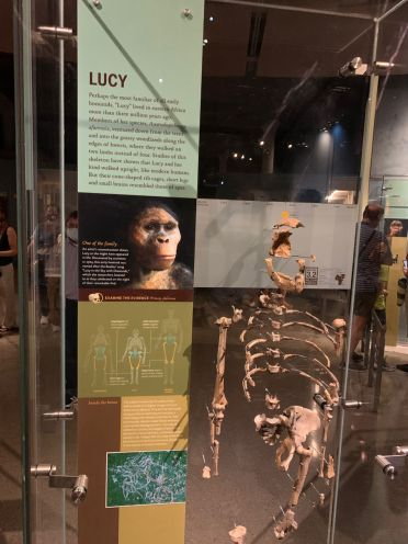 Reproduction de Lucie au Musée d'histoire naturelle de New-York (American Museum of Natural History)