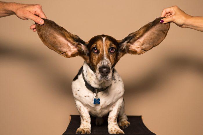 chien longues oreilles japonais