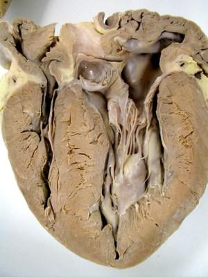 Biology 453  Mammal Cardio Photos, part 1