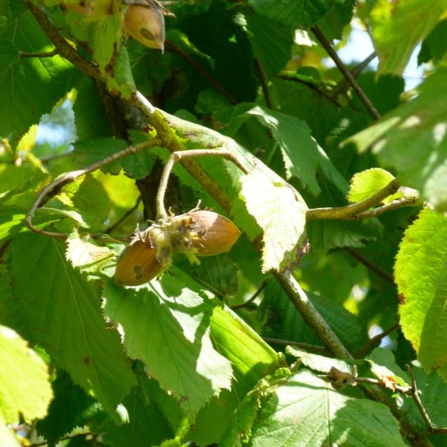 Noisette : témoin aromatique du Chardonnay, des grands bourgogne