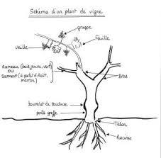Explication vigne greffée