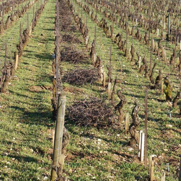 Vignes taillées, les bois morts sont enlevés
