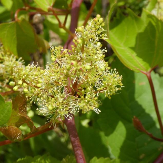 Vigne en fleurs