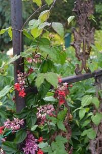 Clerodendron grimpant