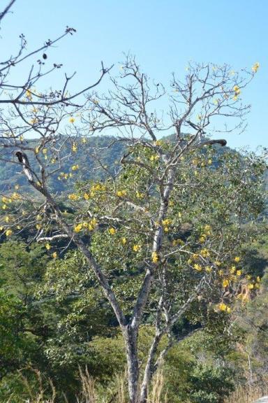 Cochlospermum vitifolium