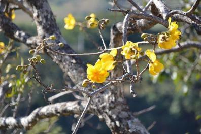 Cochlospermum vitifolium_2