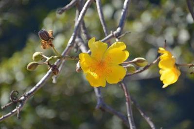 Cochlospermum vitifolium_3