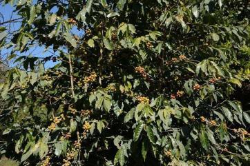 Coffea arabica_2