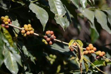 Coffea arabica_3