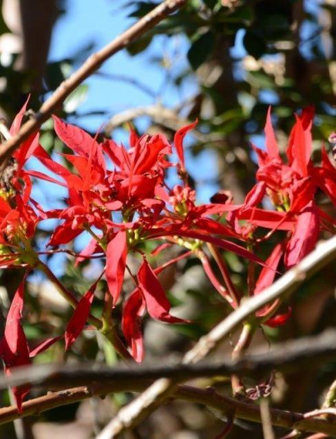 Euphorbia pulcherrima_2