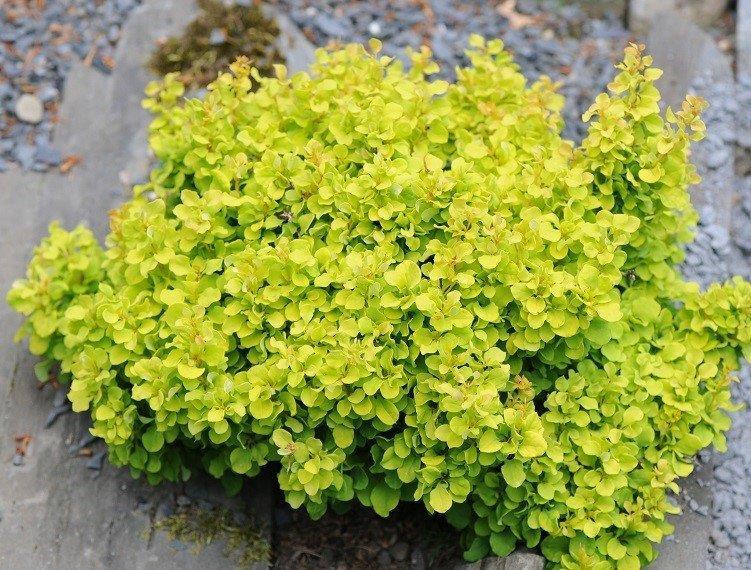 Des arbustes nains et des petits arbres - Arbuste a fleurs jaunes ...