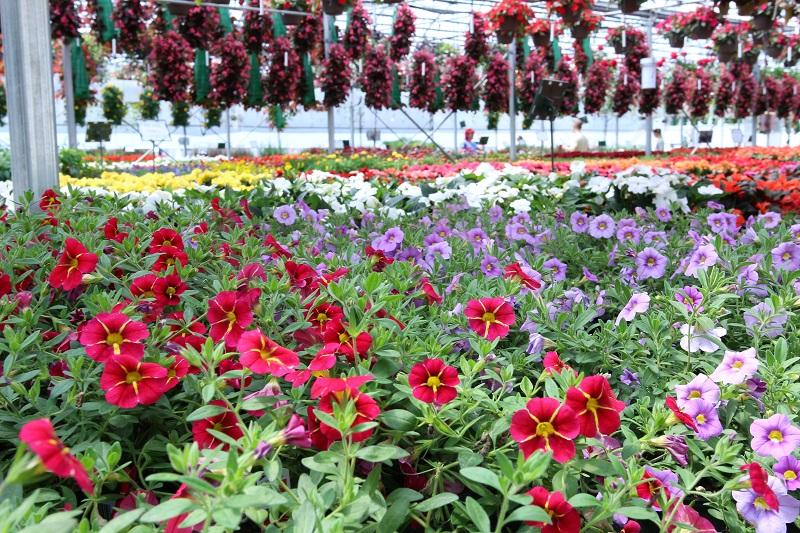 producteur fleurs annuels