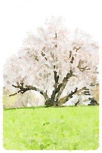Cherry tree at Winterthur