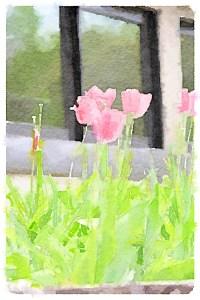 Tulips at Winterthur