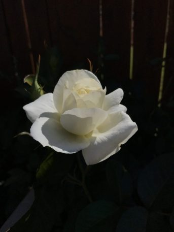 this is a white rose in front of a shadowy background.