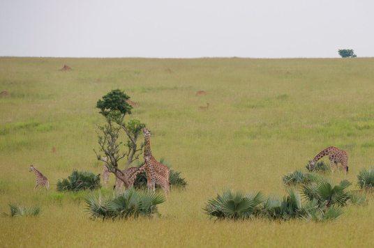 Regina Photographer - In Uganda - Paraa Lodge - Giraffes
