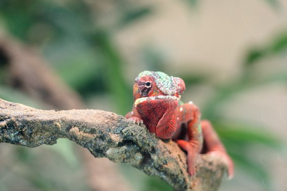 Chameleon who has decided against blending in