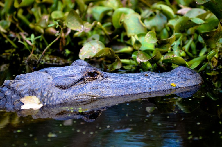 Alligator. Cajun Pride Swamp Tours.