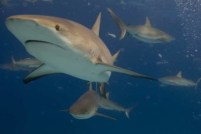 SHARK WEEK - DISCOVERY CHANNEL - CARRIBBEAN REEF SHARKS. AS SEEN ON OCEAN OF FEAR: WORST SHARK ATTACK EVER.