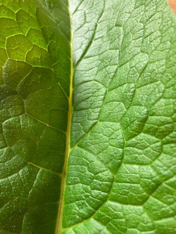 Russian Bocking 14 Comfrey Leaf
