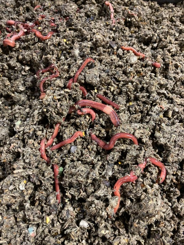 ENC worms