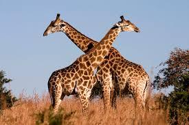 Five for Friday: Lee Strobel Movie, Millennials and GMOs, Endangered Giraffes
