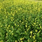 Yellow mustard Fall_2