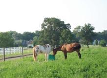 2-horses-drinking