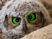 green eyed baby owl
